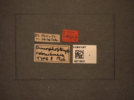 778825_Dimorphopteryx_coloradensis_Rohwer_labels_edRO.jpg