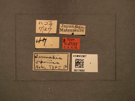 779092_Jermakia_japonica_Rohwer_labels_edRO.jpg
