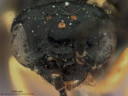 779315_Aneugmentus_flavipes_occidentalis_Rohwer_face_edRO.jpg
