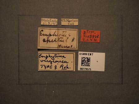 779575_Emphytina_virginica_Rohwer_labels_edRO.jpg