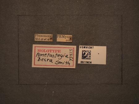 779634_Ametastegia_becra_Smith_labels_edRO.jpg