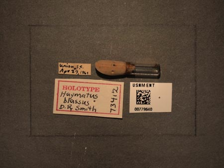 779640_Haymatus_blassus_Smith_labels_edRO.jpg