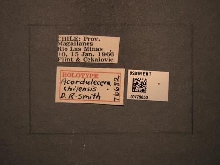 779650_Acordulecera_chilensis_Smith_labels_edRO.jpg