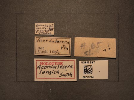 779744_Acordulecera_longica_Smith_labels_edRO.jpg