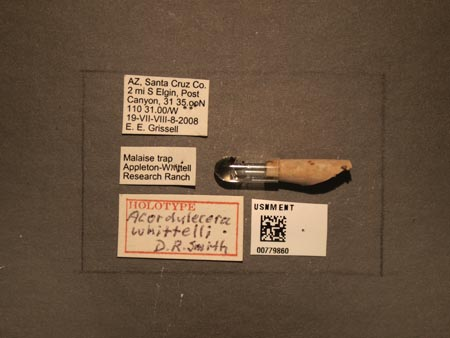 779860_Acordulecera_whittelli_Smith_labels.jpg