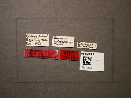 779955_Callirhytis_cedros_Dailey_Sprenger_labels_edRO.jpg