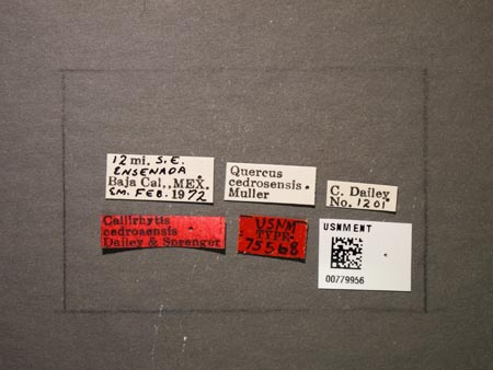 779956_Callirhytis_cedrosensis_Dailey_Sprenger_labels.jpg