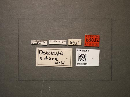 802040_Disholcaspis_edura_Weld_labels.jpg