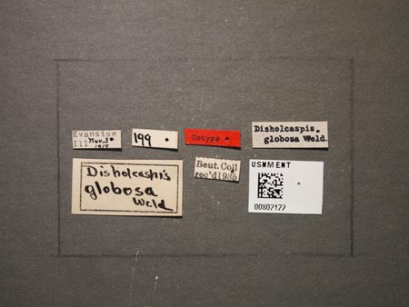 802122_Disholcaspis_globosa_Weld_labels.jpg