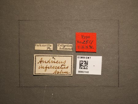 802140_Andricus_infuscatus_Ashmead_labels.jpg