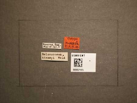 802145_Belonocnema_kinseyi_Weld_labels.jpg
