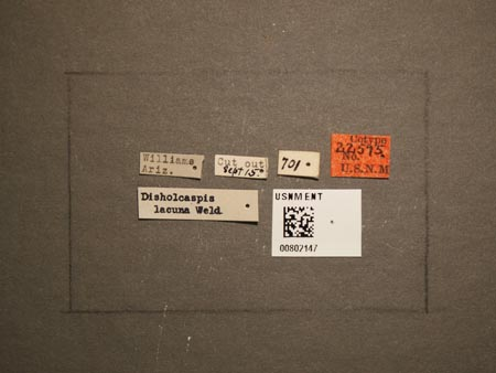 802147_Disholcaspis_lacuna_Weld_labels.jpg