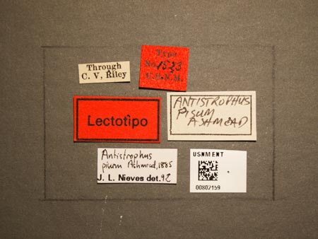 802159_Antistrophus_lygodesmiaepisum_Walsh_labels.jpg