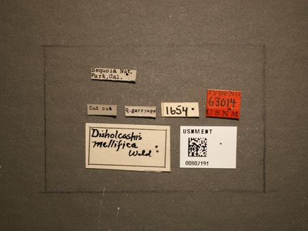 802191_Disholcaspis_mellifica_Weld_labels.jpg