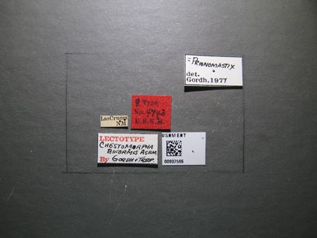802586_Chestomorpha_biformis_Ashmead_labels_edRO.jpg