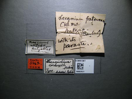802823_Lecaniobius_cockerelli_Ashmead_labels.jpg
