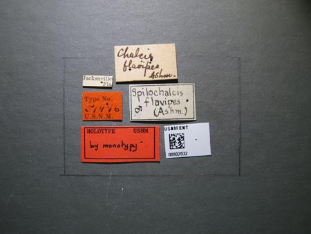802932_Chalcis_flavipes_Ashmead_labels.jpg