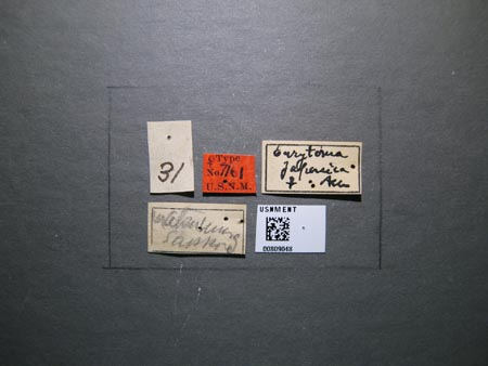 809048_Eurytoma_japonica_Ashmead_labels_edRO.jpg