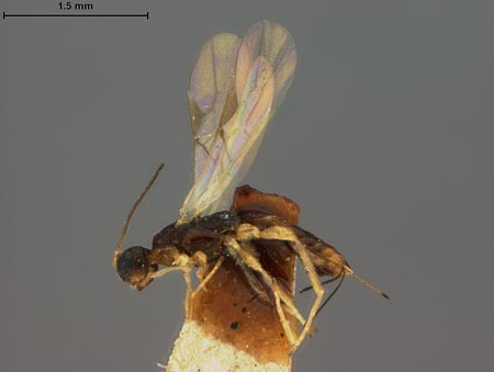 809541_Caenophanes_anthaxiae_Ashmead_lateral_habitus_full_edRO.jpg