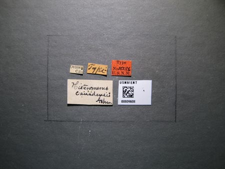 809608_Histeromerus_canadensis_Ashmead_labels_edRO.jpg