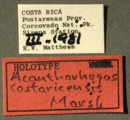 Acanthorhogas_costaricensis_04_mod_resize.jpg