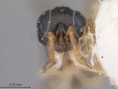 Aphidencyrtus_coccidicola_face_small.jpg