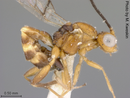 Aphidius_laticeps_02_small.jpg