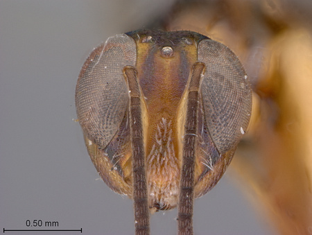 Arachnophaga_costalis_face_small.jpg
