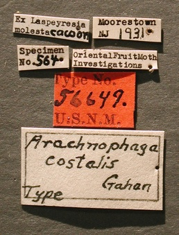 Arachnophaga_costalis_label_small.jpg