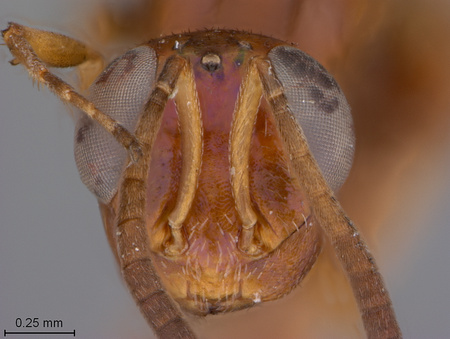 Arachnophaga_ferruginea_face_small.jpg