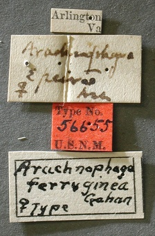 Arachnophaga_ferruginea_label_small.jpg