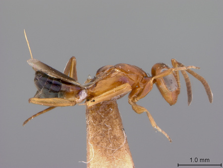 Arachnophaga_ferruginea_lateral_small.jpg