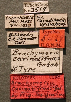 Brachymeria_carinatifrons_label_small.jpg