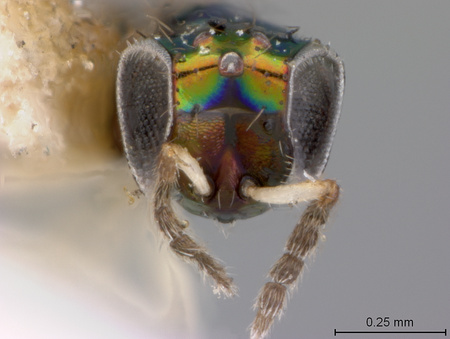 Chrysocharis_mallochi_face_small.jpg