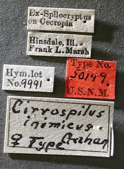 Cirrospilus_inimicus_label_small.jpg