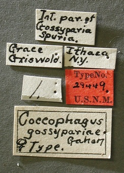 Coccophagus_gassypariae_label_small.JPG