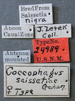 Coccophagus_saissetiae_label_small.jpg