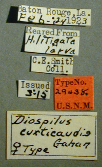 Diospilus_curticaudis_label_small.jpg