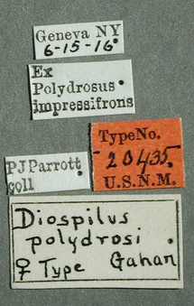 Diospilus_polydrusi_label_small.jpg