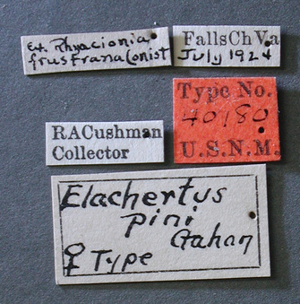 Elachertus_pini_label_small.jpg