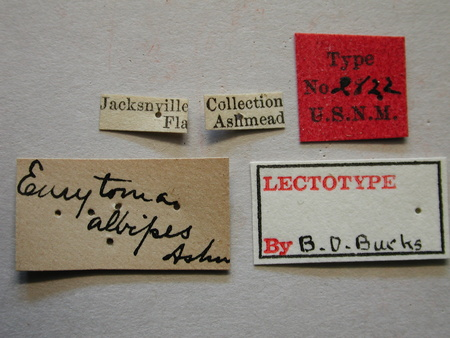 Eurytoma_albipes_labels_small.jpg