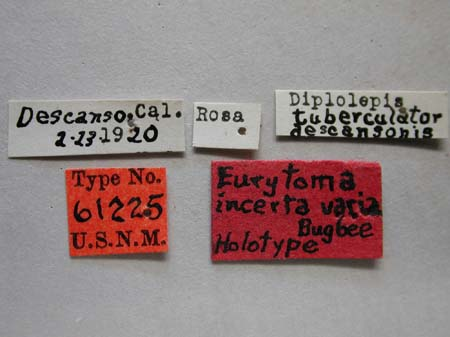 Eurytoma_incerta_varia_labels.jpg