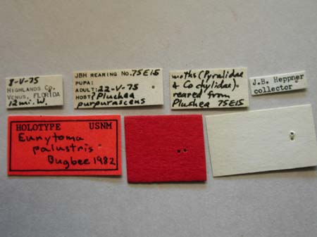 Eurytoma_palustris_labels.jpg