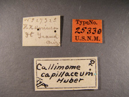 TorymusCapilaceusLabels1small.jpg